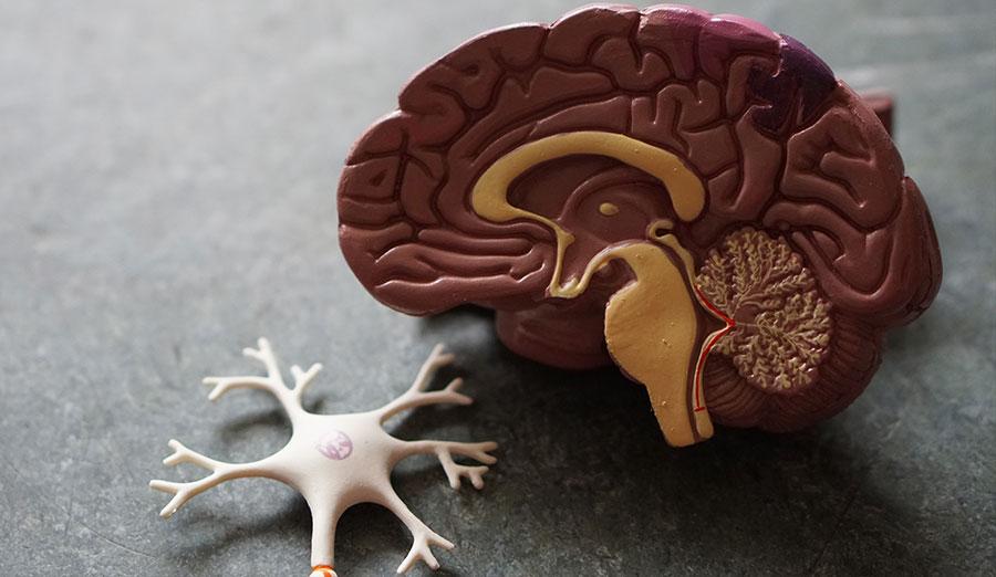 A model of half of a brain
